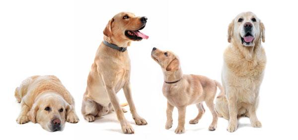 dysplasie chien age
