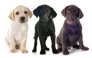 """Résultat de recherche d'images pour """"labrador"""""""
