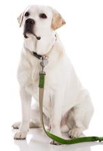 Eduquer son chien labrador - leLabrador.fr